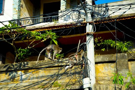 Monkeys on Electric Cables - Indonesia