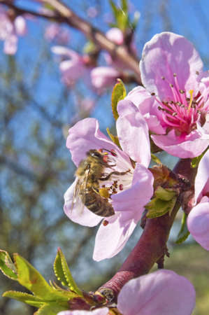 A bee busy drinking nectar from the peach flower