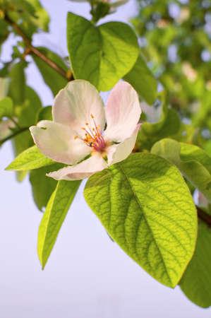 membrillo: Beautiful blossom quince flower