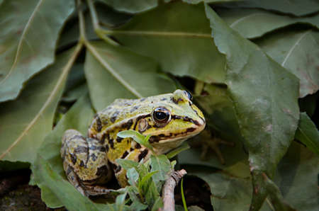 The common frog (Rana temporaria), also known as the European common frog, European common brown frog, or European grass frog