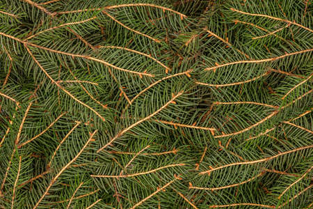 Christmas tree branches. Flat lay. Nature New Year concept. Фото со стока
