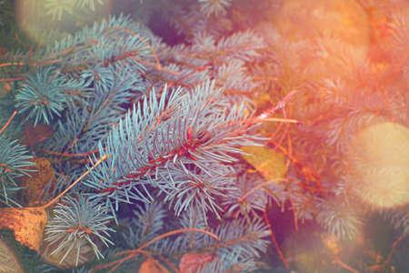 Christmas tree branches. Nature New Year concept. Фото со стока