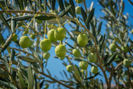 Green Olives growing on the olive tree. Raw healthy olive fruits on a tree branch. Italian olives.