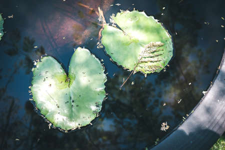 Close up of green lotus leaf,