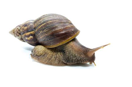 mollusc: Snail species in northern Thailand