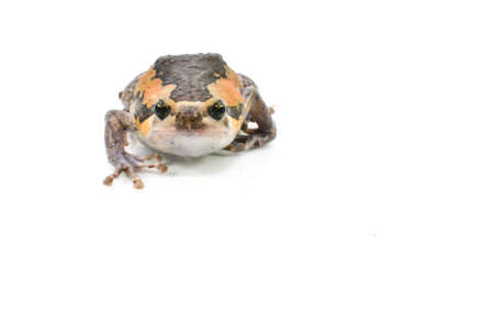 Varieties males bullfrog Thailand on a white background  photo