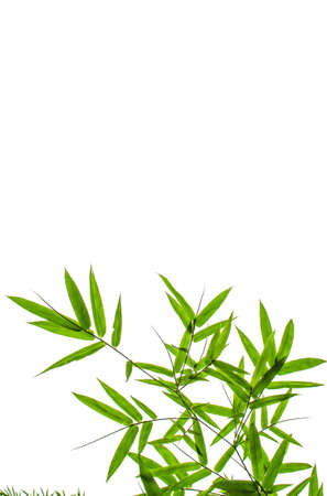 Green Bamboo Leaf Canopy on White background