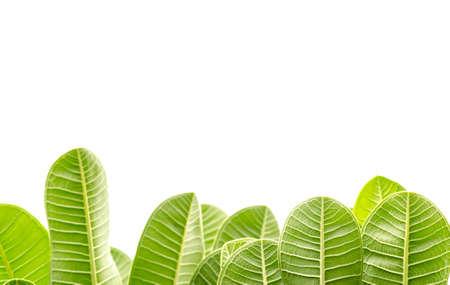 Frangipani leaves on white background photo