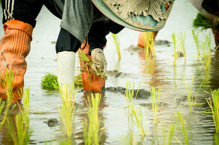 Female farmers transplanted rice sprouts to the rice field next to the ready for harvesting field. Thailand