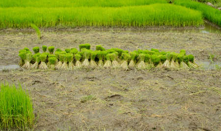 planted: Bushels of rice seedlings to the fields to be planted in a paddy field, Thailand.