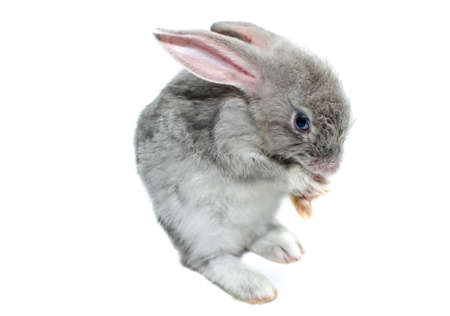 grizzled: grey rabbit on a white background