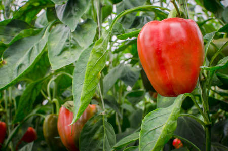 ripe red bell peppers in a greenhouse photo