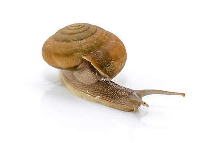 Garden snail isolated on white background Imagens