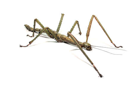 Spanish Walking Stick insect species Leptynia hispanica  photo