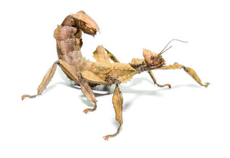 Female spiny leaf insect, Extatosoma tiaratum, on a white .  photo