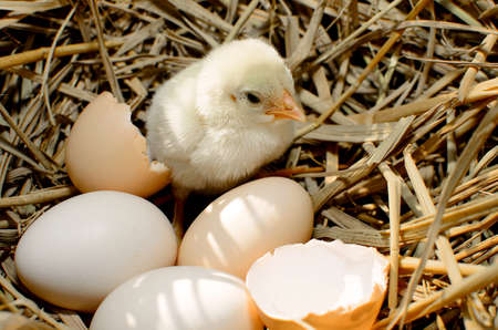 beautiful little chicken, eggs and eggshell in nest Stock Photo