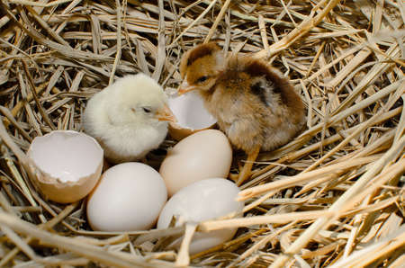 chicken egg: beautiful little chicken, eggs and eggshell in nest Stock Photo