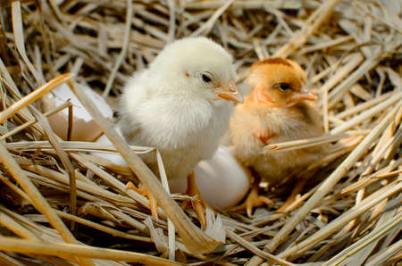 baby chick: beautiful little chicken, eggs and eggshell in nest Stock Photo