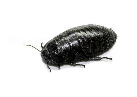 burrowing: Australian giant burrowing cockroach on white background