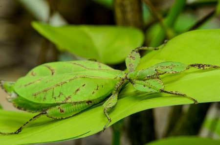 Phyllium giganteum, blad insect wandelen verlof