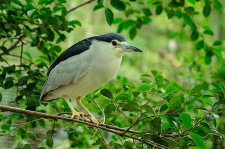 gray herons: back-crowned night heron