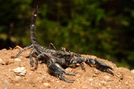 Scorpion fighting position