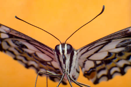 danaus: Butterfly macro Colorful background, Portrait of Night Moth Butterfly Stock Photo