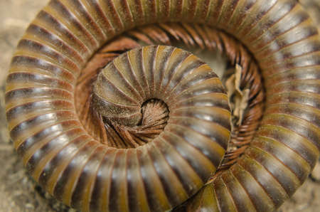 Giant millipede in the tropical jungle forest, Thailand photo