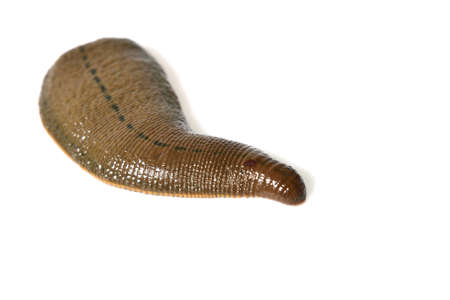 sanguisuga: Leech isolato su bianco