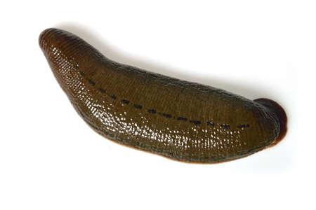 Leech isolated on white photo