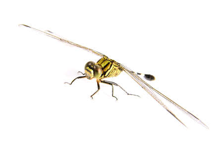 snaketail: Ophiogomphus cecilia. Green Snaketail dragonfly on a white background.