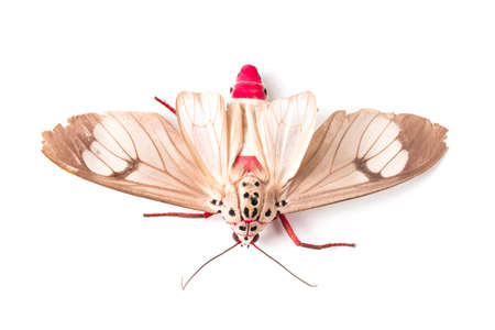 Butterfly of Silk moth isolated on a white background. Close up photo