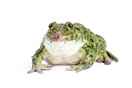Frog isolated on white background. photo
