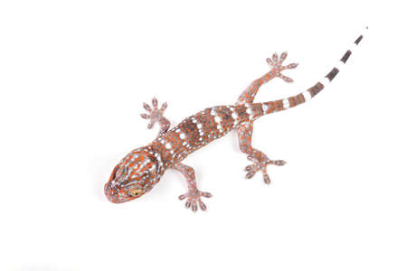bugaboo: Gecko arrampicata su sfondo bianco Archivio Fotografico