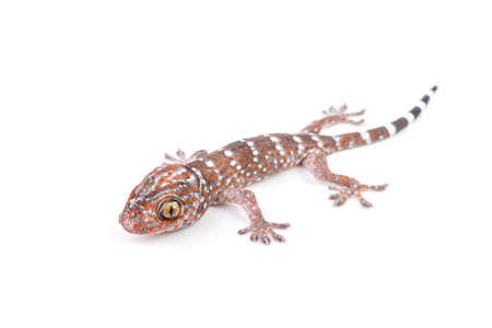 bugaboo: Gecko climbing on white background