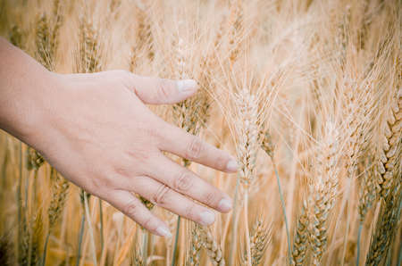 Wheat ears in the hand. Harvest concept photo