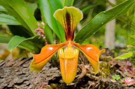 paphiopedilum: Splendid Paphiopedilum Slipper Orchid - Paphiopedilum insigne