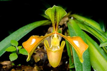 splendid: Splendid Paphiopedilum Slipper Orchid - Paphiopedilum insigne