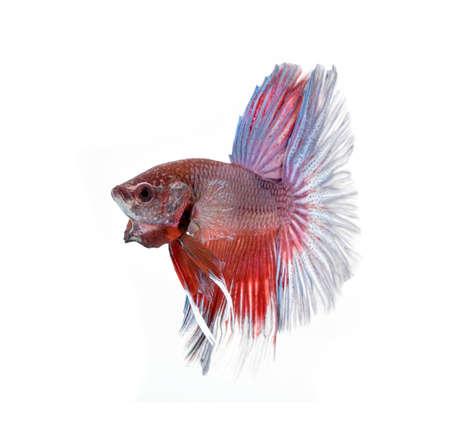 fire fin fighting: siamese fighting fish , betta on white background. Stock Photo