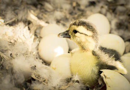 webbed feet: Duckling born in the ovaries. (Monochromatic colour) Stock Photo