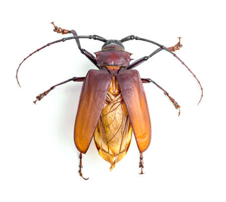 brown scarab beetle on white background Stock Photo