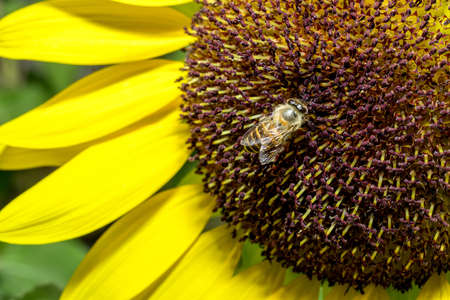 sunup: close up of bee on sunflower, sun-up