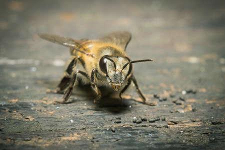 queen bee: Macro foto de un enjambre de abejas en la madera. Foto de archivo