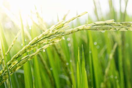 Close-up van groene padie. Groene oor van rijst in padie veld onder zonsopgang, Blur Paddy rijst veld in de ochtend achtergrond Stockfoto