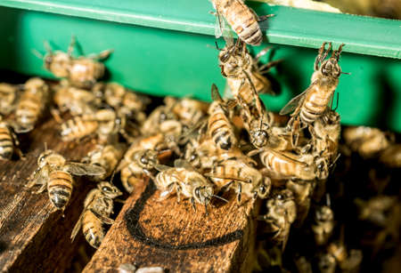 bee swarm: Macro shot of bees are kept in crates. Stock Photo