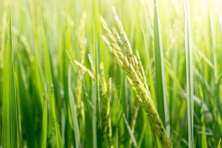 cultivation: Close up of green paddy rice. Green ear of rice in paddy rice field under sunrise, Blur Paddy rice field in the morning background