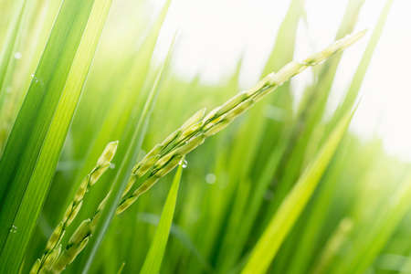 rice harvest: Close up of green paddy rice. Green ear of rice in paddy rice field under sunrise, Blur Paddy rice field in the morning background
