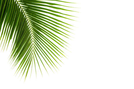 Hojas del coco en el fondo blanco Foto de archivo - 49987638