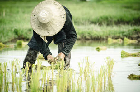 transplanted: Female farmers transplanted rice sprouts to the rice field next to the ready for harvesting field. Thailand