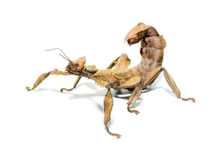 Female spiny leaf insect, Extatosoma tiaratum, on a white background.